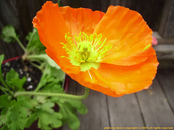 Femme fatale (brilliant orange Icelandic poppy at the peak of bloom).