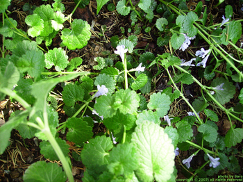 Ground ivy creeping and blooming.
