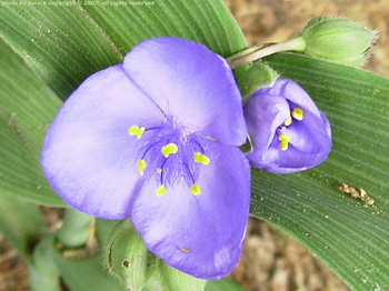Single tradescantia (spiderwort) blossom, closeup.