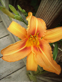 Yet another Hemerocallis fulva in my yard.