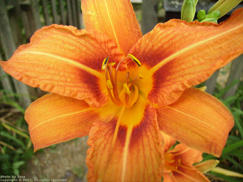 Oh yes, it's another one; another Hemerocallis fulva in my yard.