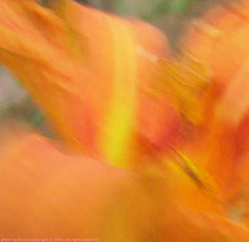 Free-spirited smear of pinky-orange with yellow streaks; Hemerocallis fulva in motion.