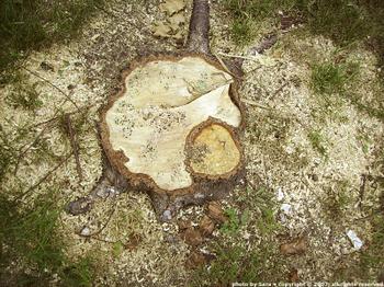 Birch stump.