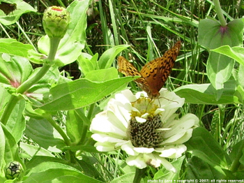 White zinnia with fritillary butterfly.