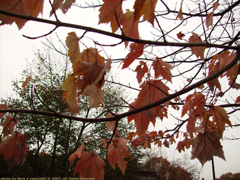 Rain-spangled leaves against grey sky.