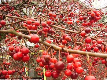 Joyful red-fruited abundance.