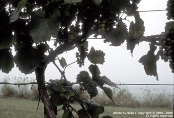 Grapes growing by the sea.