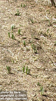 Thirty or so new daffodil plants sprouting for the first time.