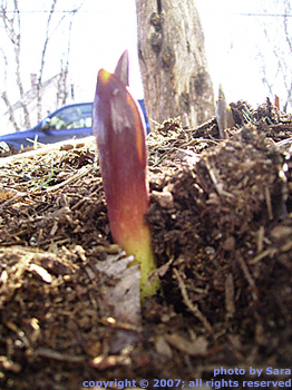 Tulip sprouting rosily upward through dark mulch.