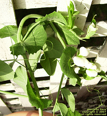 Peas and pea blossoms forming on the vine.
