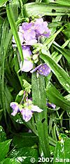 Tradescantia, drenched in rain.