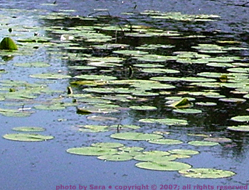 Lily pads on the river.
