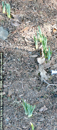 Daffodils I planted sprouting in my parking strip.