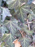 Ivy leaves, closeup.