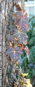 Red ivy leaves like stained glass with the sun behind them.
