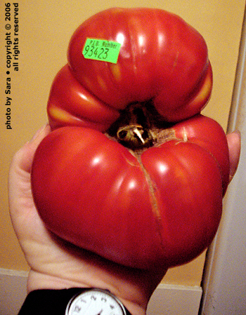 Monstrously large tomato.