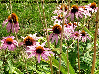 Echinacea blooming among spent daylily stalks.