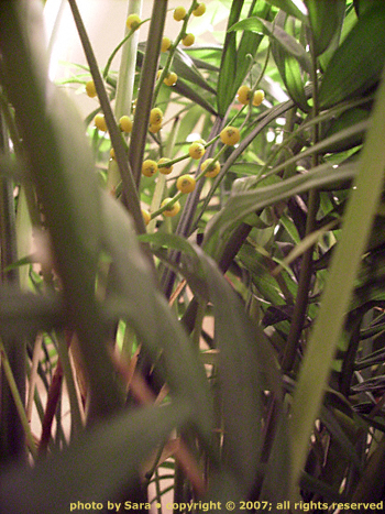 Palm plant fruiting.