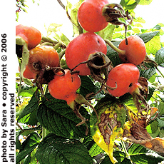 Rugosa hips dyed / by the onset of autumn, / jewels to feed birds.
