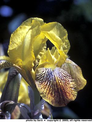 Yellow iris in my neighbor's parking strip.