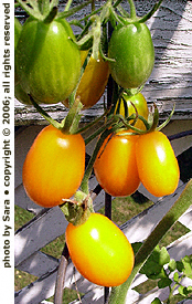Tomatoes of varying ripeness.